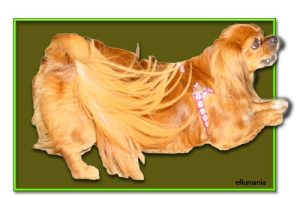 spaniel-rumano,-perro raza rumana, eRumania