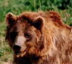 Oso pardo. Fauna de Rumania. erumania